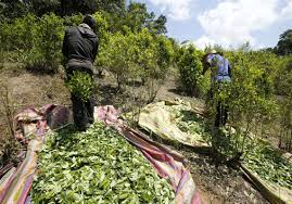 Coca Farmers Harvesting Coca Leaves